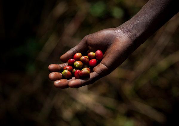 Близкое знакомство с кофе: 10 возможностей поселиться на кофейных плантациях