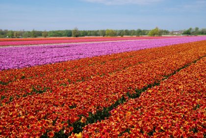 Блюменкорсо — цветочное безумие в Амстердаме