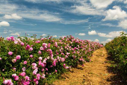 Фестиваль роз в Марокко: душ из лепестков, танец пчелы и выборы цветочной Королевы