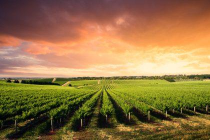 Виноградники и винодельни. Что посетить и что продегустировать
