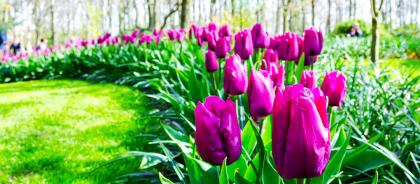 В Риме снова откроют парк тюльпанов