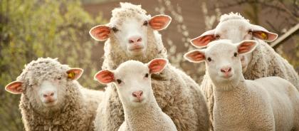 В самом большом парке Мадрида за газонами теперь следят овцы