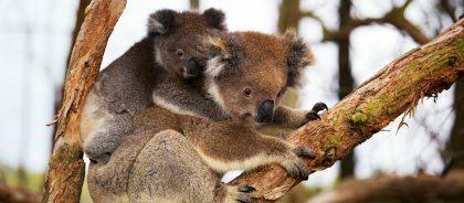 В Сиднее предложили провести ночь среди коал