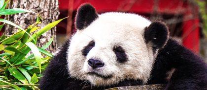 У панд из Гонконга случилась взаимная любовь